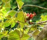 Apenhandboom (Chiranthodendron pentadactylon)_