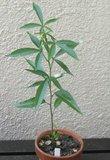 Reuzenbaobab (Adansonia grandidieri)_