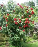 Orleaanboom (Bixa orellana)_