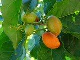 Pindakaasboom (Bunchosia argentea)_