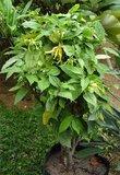 Ylang-ylang (Cananga odorata)_
