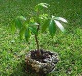 Kapokboom (Ceiba pentandra)_