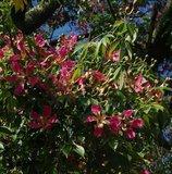 Zijdeboom (Ceiba speciosa)_