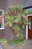 Papegaaiensnavel (Clianthus puniceus)_