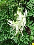 Witte papegaaiensnavel (Clianthus puniceus 'alba')_