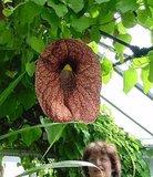 Reuzenpijpbloem (Aristolochia gigantea)_