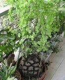 Schildpaddenschildplant (Dioscorea elephantipes)_