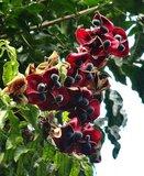 Zwarte parelboom (Majidea zanguebarica)_