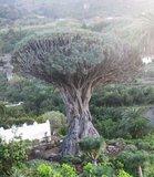 Drakenbloedboom (Dracaena draco)_