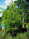 Gouden champaca (Magnolia champaca)_