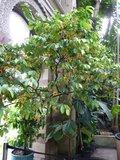 Kalebasmuskaatnoot (Monodora myristica)_