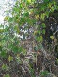Fluweelboon (Mucuna pruriens)_