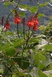 Koraalstruik (Erythrina arborescens)_