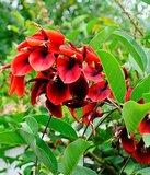 Koraalstruik (Erythrina crista-galli)_