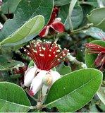 Ananasguave (Feijoa sellowiana)_