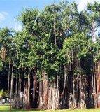 Wurgvijg (Ficus benghalensis)_