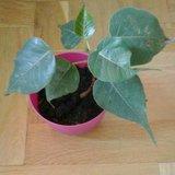 Bodhiboom (Ficus religiosa)_