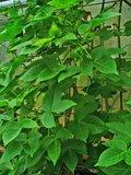 Levant katoen (Gossypium herbaceum)_