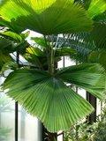 Vanuatu waaierpalm (Licuala grandis)_