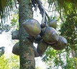 Coco de Mer (Lodoicea maldivica)_