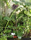 Vleermuisbloem (Tacca chantrieri)_