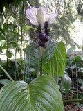 Witte vleermuisbloem (Tacca integrifolia)_