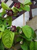 Gevleugelde passiebloem (Passiflora alata)_