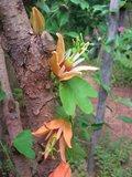 Australische passiebloem (Passiflora aurantia)_