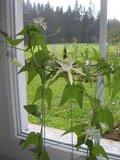 Passiebloem (Passiflora capsularis)_