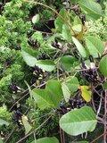 Zwarte koraalboon (Kennedia nigricans)_