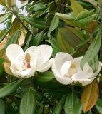 Zuidelijke magnolia (Magnolia grandiflora)_