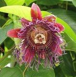 Reuzenpassiebloem (Passiflora quadrangularis)_