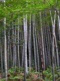 Moso reuzenbamboe (Phyllostachys edulis)_