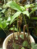 Voodoolelie (Typhonium venosum)_