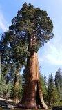 Mammoetboom (Sequoiadendron giganteum)_
