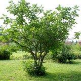 Vijg (Ficus carica)_