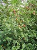 Zoethout (Glycyrrhiza glabra)_