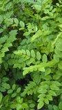 Chinese zoethout (Glycyrrhiza uralensis)_