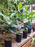 Cashew (Anacardium occidentale)_