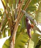 Cheesman banaan (Musa cheesmanii)_