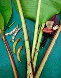 Bau banaan (Musa bauensis)_