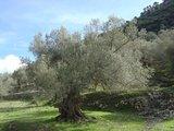 Europese olijf (Olea europaea)_