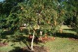 Granaatappel (Punica granatum)_