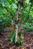 Cacao (Theobroma cacao)_