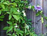 Maypop passiebloem (Passiflora incarnata)_