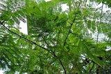 Olifantsoorboom (Enterolobium cyclocarpum)_
