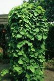 Grootbladige pijpbloem (Aristolochia macrophylla)_
