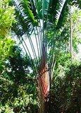 Rode reizigersboom (Ravenala sp. 'Honkondambo')_