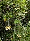 Kroonluchterboon (Mucuna holtonii)_