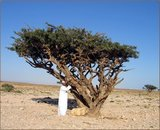 Wierookboom (Boswellia sacra)_